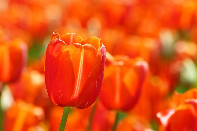 Close-up of orange poppy flowers blooming in field
