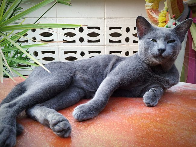 My cat. Siamcat Cat Cats Thailandcat Gatto แมวไทย แมว