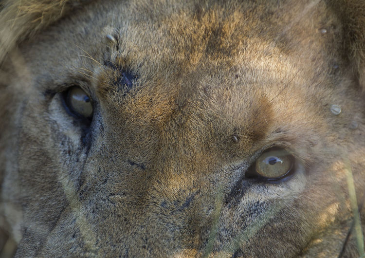 Lion Animal Head  Animal Themes Animals In The Wild Close-up Day Lion - Feline Looking At Camera Mammal No People One Animal Outdoors Portrait