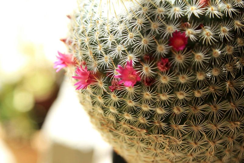 'couse I'm beautiful Beauty In Nature Cactus Nature Close-up Day Growth Littleflowers Green Nature Prickle Plant Flower