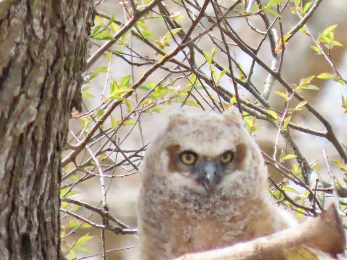 Owlet closeup headshot in the nest in ta tree birds of EyeEm beauty in nature outdoors tree trunk leafy branches focus on the foreground Animal Wildlife Animal Themes One Animal Looking At Camera No People Nature