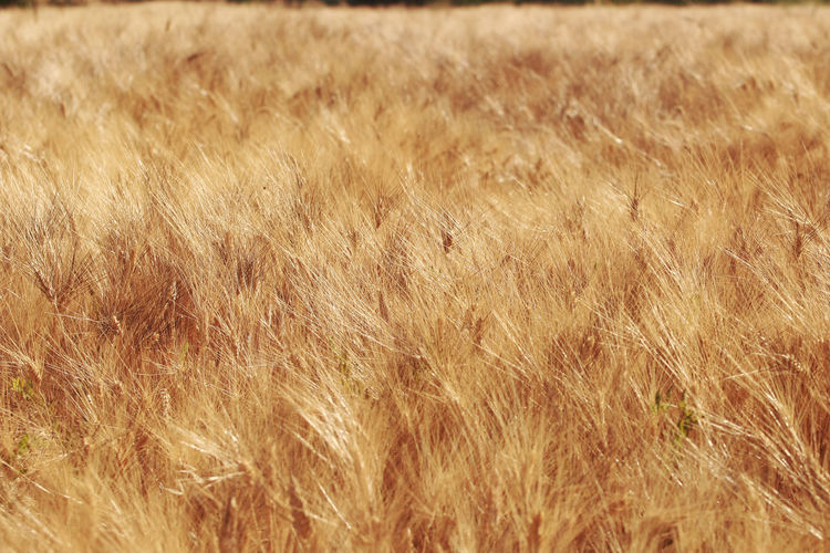 Agriculture Backgrounds Beauty In Nature Close-up Day Ears Field Full Frame Gold Gold Colored Golden Growth Nature No People Outdoors Wheat Wheat Wheat Ears Wheat Field Wind Windy