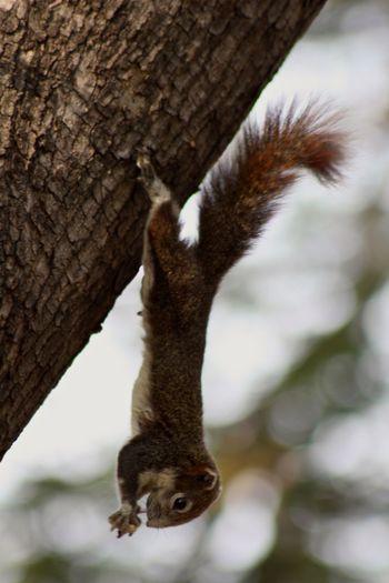 Animal In Tree Animal Themes Animal Wildlife Brown Animal Hanging Animal Hanging Squirrel One Animal Squirrel Tail Tree