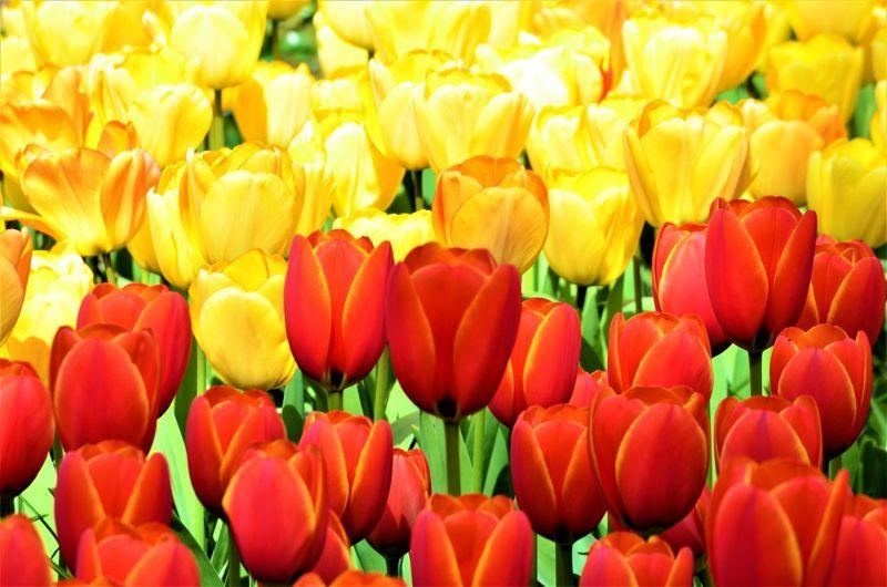 Full frame shot of multi colored tulips