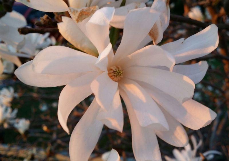Kvällspromenad och jag möttes av denna vackra blomma,se vilket ljus som föll på. Beautiful afternoon. What a beautiful bush flower. Flower Bloom Flowering Bushes Beautiful Afternoon No Edit/no Filter