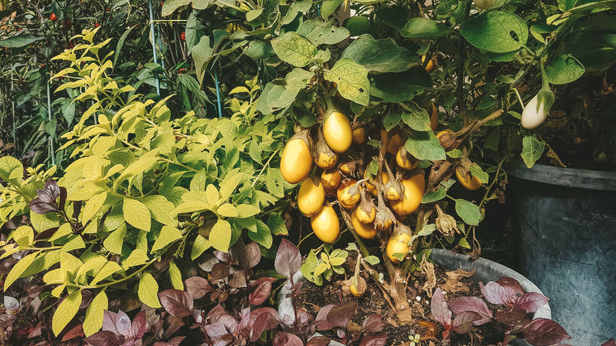 Leaf Plant Part Food And Drink Food Fruit Healthy Eating Growth Plant Nature Freshness Wellbeing No People Day Yellow Green Color Tree Outdoors Beauty In Nature Leaves Eggplant Yellow Eggplant
