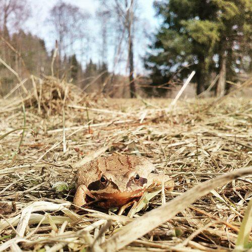 Frog Frogprince