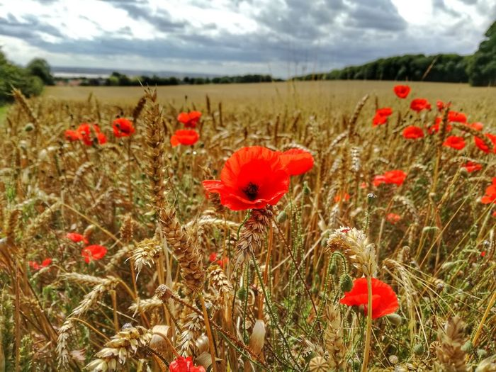 poppy Flower Head Flower Poppy Rural Scene Red Summer Uncultivated Field Wildflower Sky EyeEmNewHere