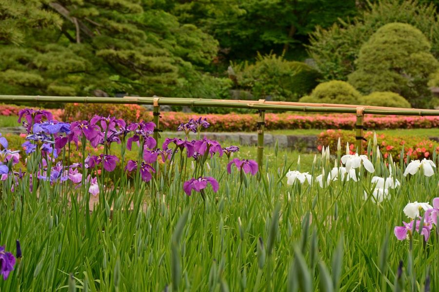 Imperial Palace Garden Imperial Palace Tokyo Beauty In Nature Blooming Flower Flower Head Focus On Foreground Fragility Green Color Growth Plant