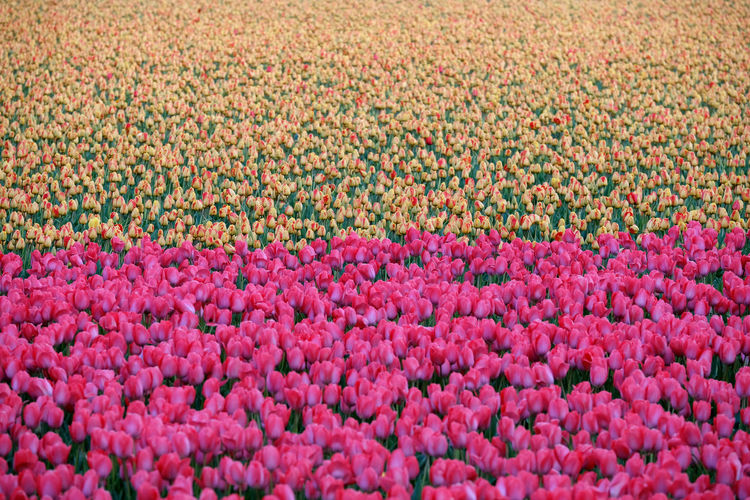 A wide field of tulips. Backgrounds Beauty In Nature Day Flower Flowerbed Freshness Landscape Multi Colored Nature No People Outdoors Pink Color Rural Scene Scenics Tranquility Tulip Tulips Fujifilm_xseries FUJIFILM X-T2 Fujifilm
