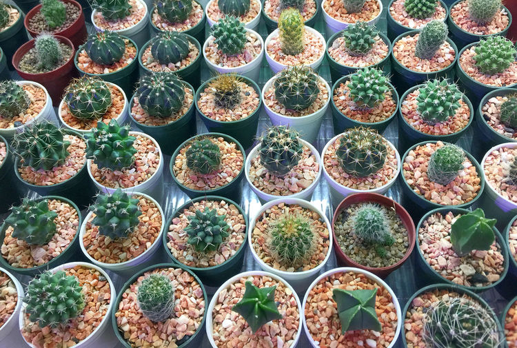 Various kinds of cactus in small pots