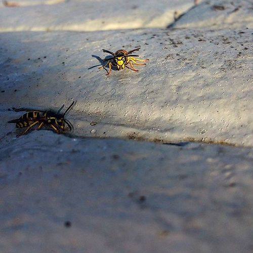 Bees, eating the sap off the ground from a pine tree Bees Bee Sapeating Sap Beesareimportant Beelivesmatter Insects  Sidewalk Brick