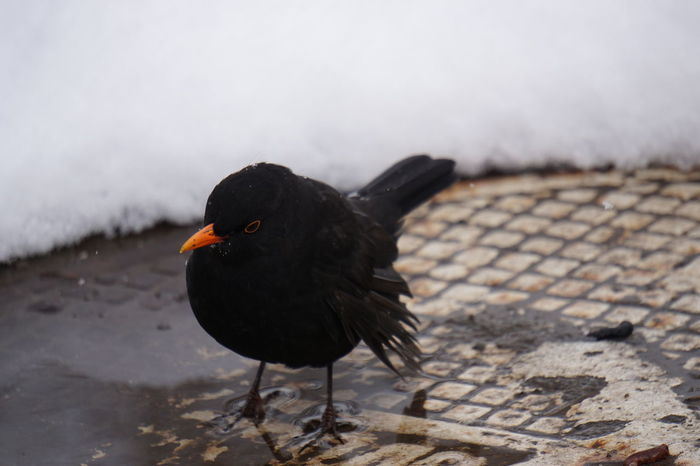 Animal Themes Animal Wildlife Animals In The Wild Bird Black Color Close-up Day Nature No People One Animal Outdoors Schief Snow Winter