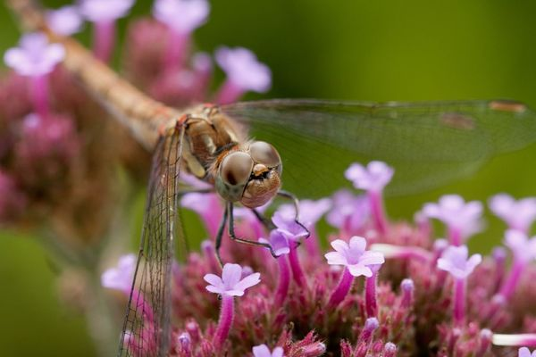 Dragonfly Pink Flower Macro_collection From My Archives EyeEm Nature Lover Animal Enyoing Life Swaanfotografie