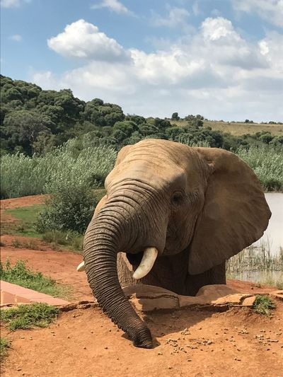 Elephant One Animal Landscape Nature Outdoors Animals In The Wild African Elephant No People Mammal Animal Trunk Close-up
