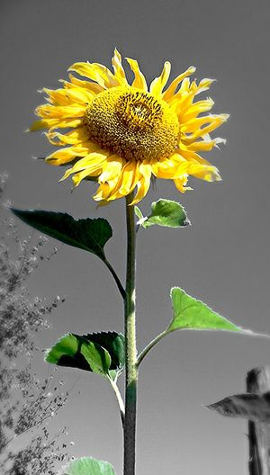 Słonecznikowe ;) Słonecznik Flowers Summer Hello World Sun . Gogolewo Słupsk