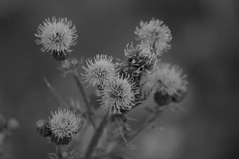 Wild flowering plant growing next to wheat field. Wheat Field Wheat Plant Flower Flowering Plant Fragility Vulnerability  Freshness Nature Beauty In Nature Flower Head Petal Plant Stem Wilted Plant Softness Inflorescence No People Wildflower Tranquility Tranquil Scene Blackandwhite Bokeh Growth Spiky Day Outdoors Close-up Selective Focus Rear View Botany Environment Large Group Of Objects Insect