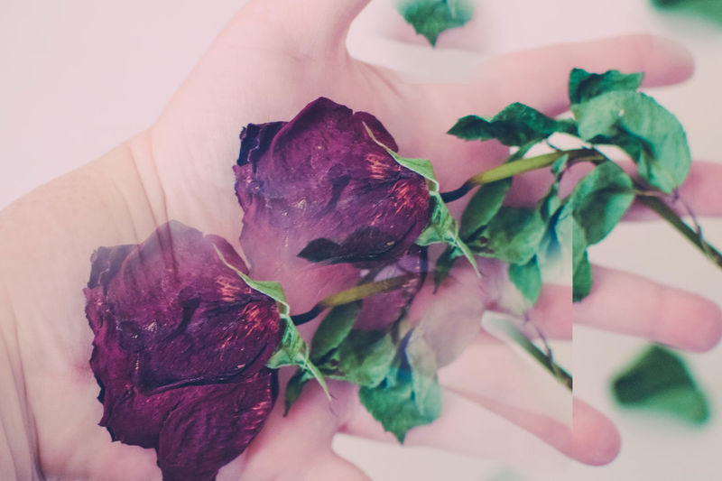 A family memorial rose...Cloning Contemporary Art Dried Flowers Flower Green Leaves Hand Art In My Hand Nikon Nikonphotography Red Rose Rosé Handart Hand Beautiful Beautiful Flowers Showcase: January Art Artistic Dried Leaves Hand_collection Rose_collection Better Look Twice