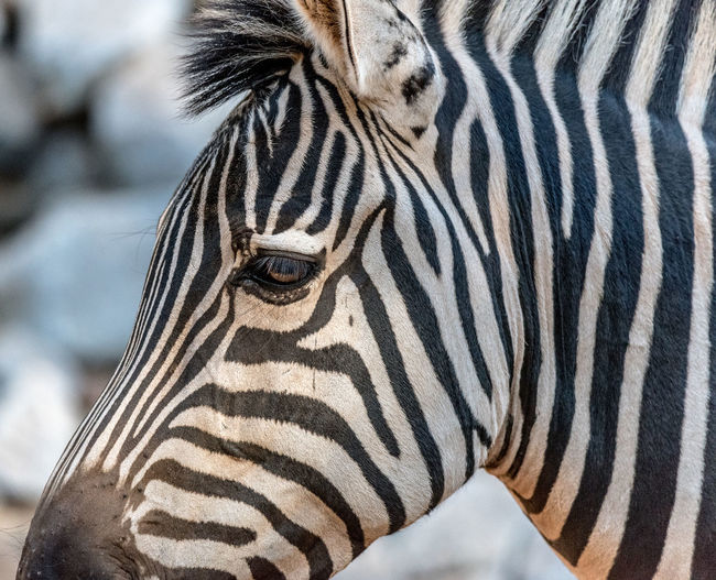 Untamable Animal Head  Animal Photography Animal Themes Black And White Headshot Photographyisthemuse Stripes Pattern Wildlife Wildlifephotography WithMyTamron Zebra Zoo Animals