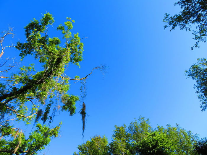 Florida unusual tree, other trees, and blue sky Clear Blue Sky Nature Tropical Tree Tropical Trees Florida Florida Nature Background Tree Clear Sky Blue Branch Leaf Rural Scene Sky Close-up Green Color Treetop Tree Area