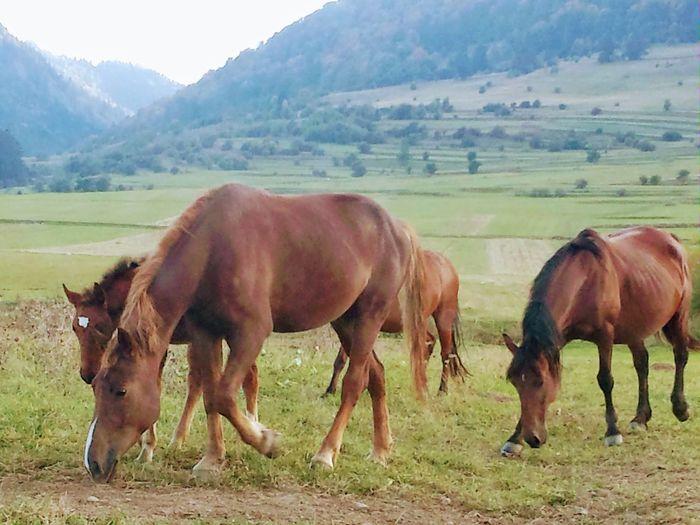 horses Tree Mountain Rural Scene Grazing Full Length Horse Grass Livestock Sky Wildebeest Group Of Animals Ranch Farm Animal Animal Migration Herbivorous
