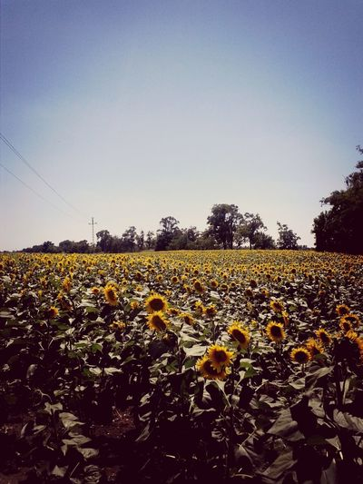 Sunflowers Taking Photos Nature