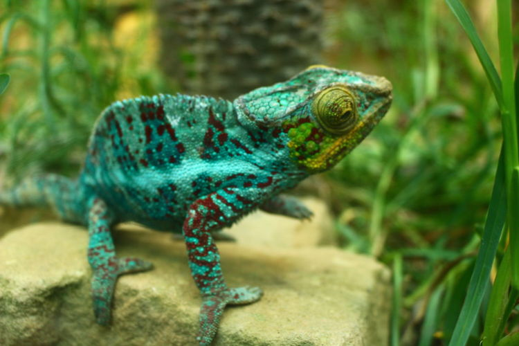 Animal Wildlife Reptile One Animal Animals In The Wild Animal Themes No People Chameleon EyeEm Gallery EyeEm Best Shots Eyem Collection Chamaeleon Beauty In Nature Animals In The Wild Animal Close-up Day Nature