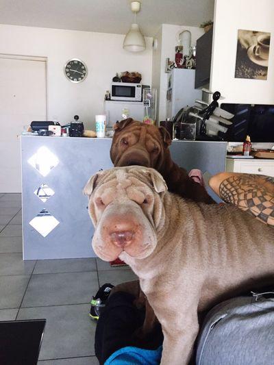 Animal Themes Dog Domestic Animals Animals Dogs Dog Love Sharpei