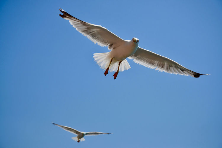 Doves Seagulls Animal Animal Themes Animal Wildlife Animals In The Wild Bird Black-headed Gull Blue Clear Sky Day Flying Low Angle View Mid-air Motion Nature No People One Animal Seagull Sky Spread Wings Vertebrate
