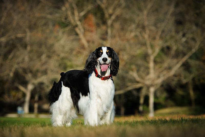 Portrait of english springer spaniel standing on field
