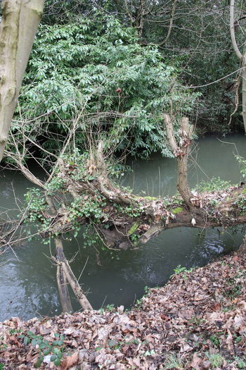 Accidents And Disasters Day Environment Landscape Leaves Lush - Description Nature No People Obstruction Outdoors Plant River Riverside Stream Surrey Countryside Tree Water Wilderness