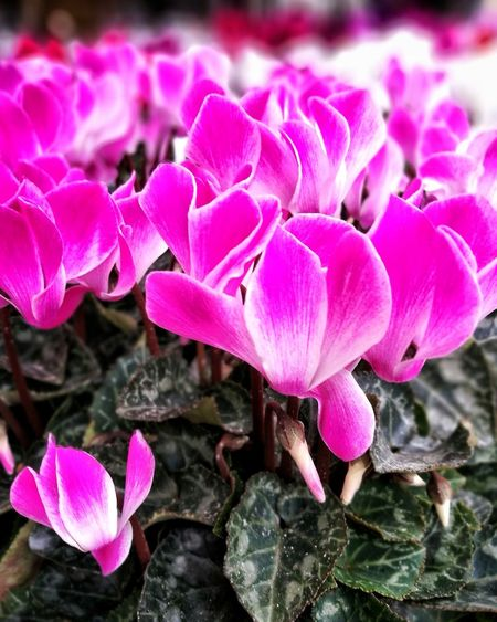 Pink Color Flower Plant Nature Petal Outdoors No People Beauty In Nature Close-up Day Fragility Leaf Flower Head Freshness Growth Cyclamen Cyclamens