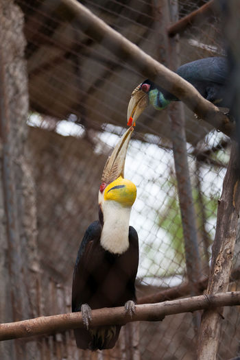 Close-up of hornbills perching in cage