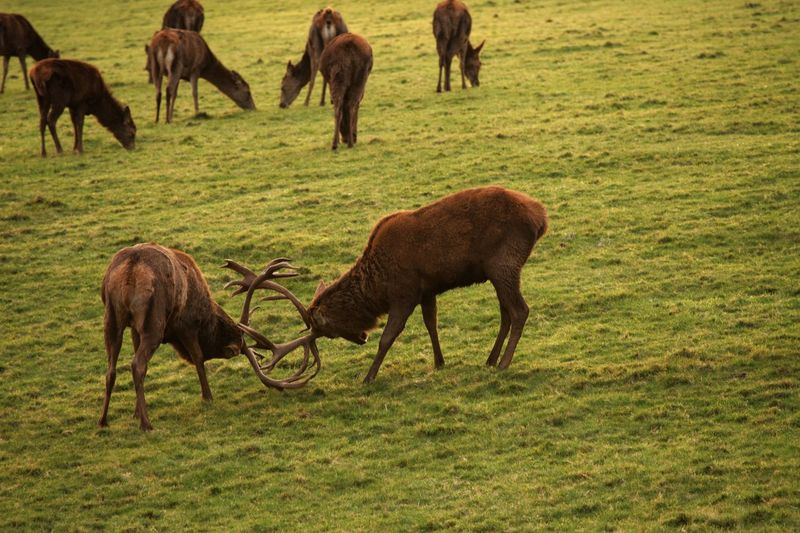 Deer Rutting Season Stags Grass Animal Themes Field Nature Grazing Green Color Animals In The Wild Animal Wildlife No People Mammal Outdoors