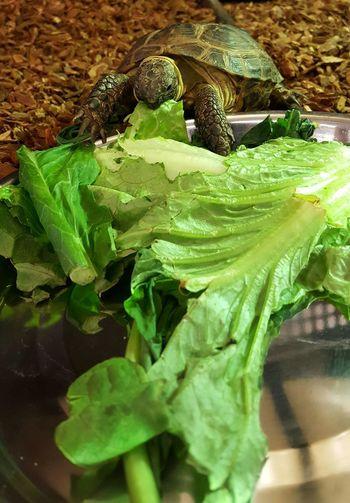 Turtle power, turtle, feeding time, pet turtle, family pet, reptile, hardshell, hardshell turtle, animal life, animal TurtlePower Turtle Feeding Turtle Pet Photography  Pets Hardshell  Pet Portraits