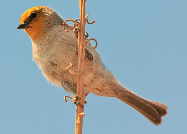 A male Verdin native to Arizona watching from his perch. Arizona Animal Animal Themes Animal Wildlife Animals In The Wild Beak Bird Blue Clear Sky Close-up Copy Space Day Looking Looking Away Low Angle View Nature No People One Animal Outdoors Perching Sky Verdin Vertebrate