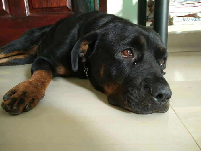 Rottweiler Pictures Photos And Images Eyeem
