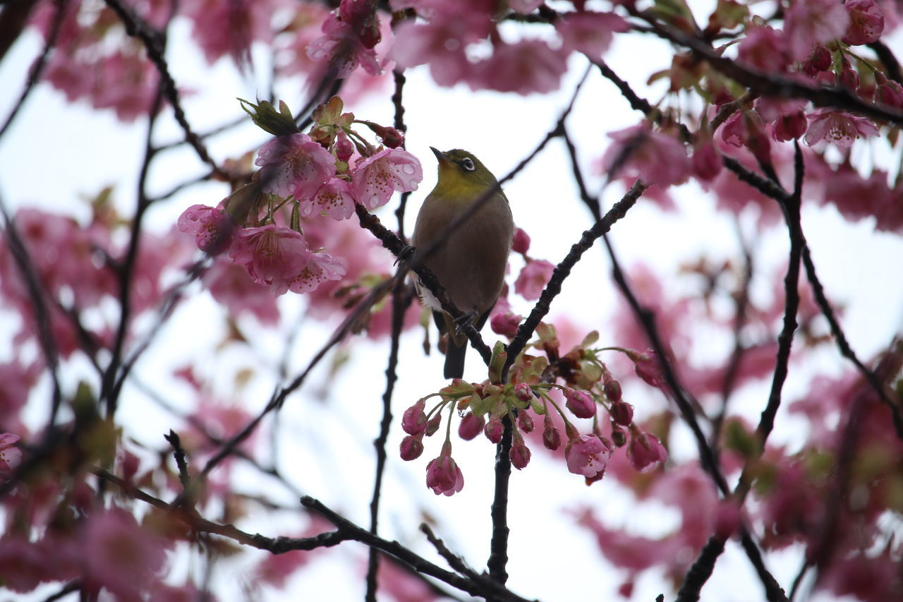 Low Angle View Of Willow Warbler Perching On Cherry Blossom Twig