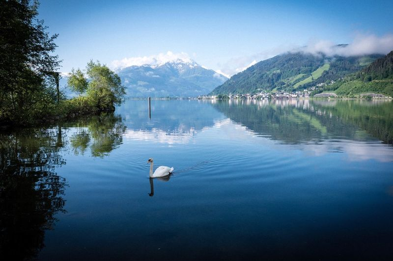 Swan Swan Water Lake Reflection Mountain Beauty In Nature Scenics - Nature Sky Animal Wildlife Nature