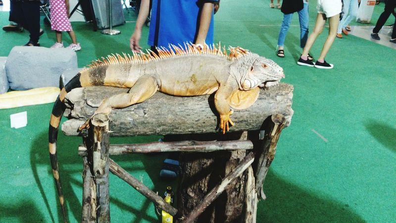 EyeEm Selects Iguana Lizard Photography Lizard Close Up Lizard Nature Iguana Photo Iguana Colors Iguana Love First Eyeem Photo