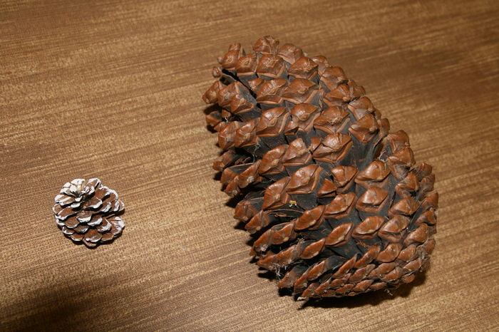 High Angle View No People Freshness Close-up Indoors  Day Beauty In Nature Pinecone Pine Cones Mamutart Mammuttree