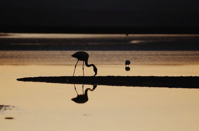 Silhouette bird on lake during sunset