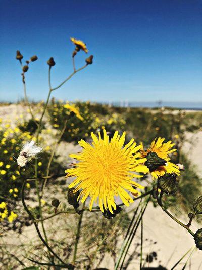 Beachflower