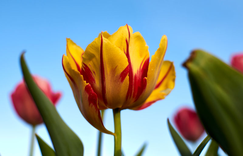 Close-up of yellow flower against clear blue sky