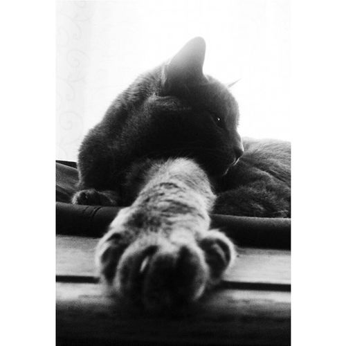 Millycat Greycat RussianBlue Cat cats pet petstagram kitten kittens catstagram pets kitty catlovers catsofinstagram animal catlover ilovemycat meow picpets instacat 貓 ねこ kucing blackandwhite bw claws paws