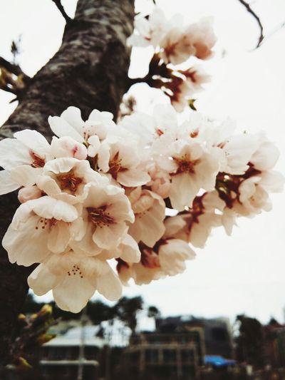 Cherry blossoms close up Spring Flowers Cherry Blossoms