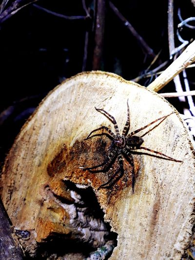 spider Spider Dead Plant Dead Tree Animal Wood Insect Close-up