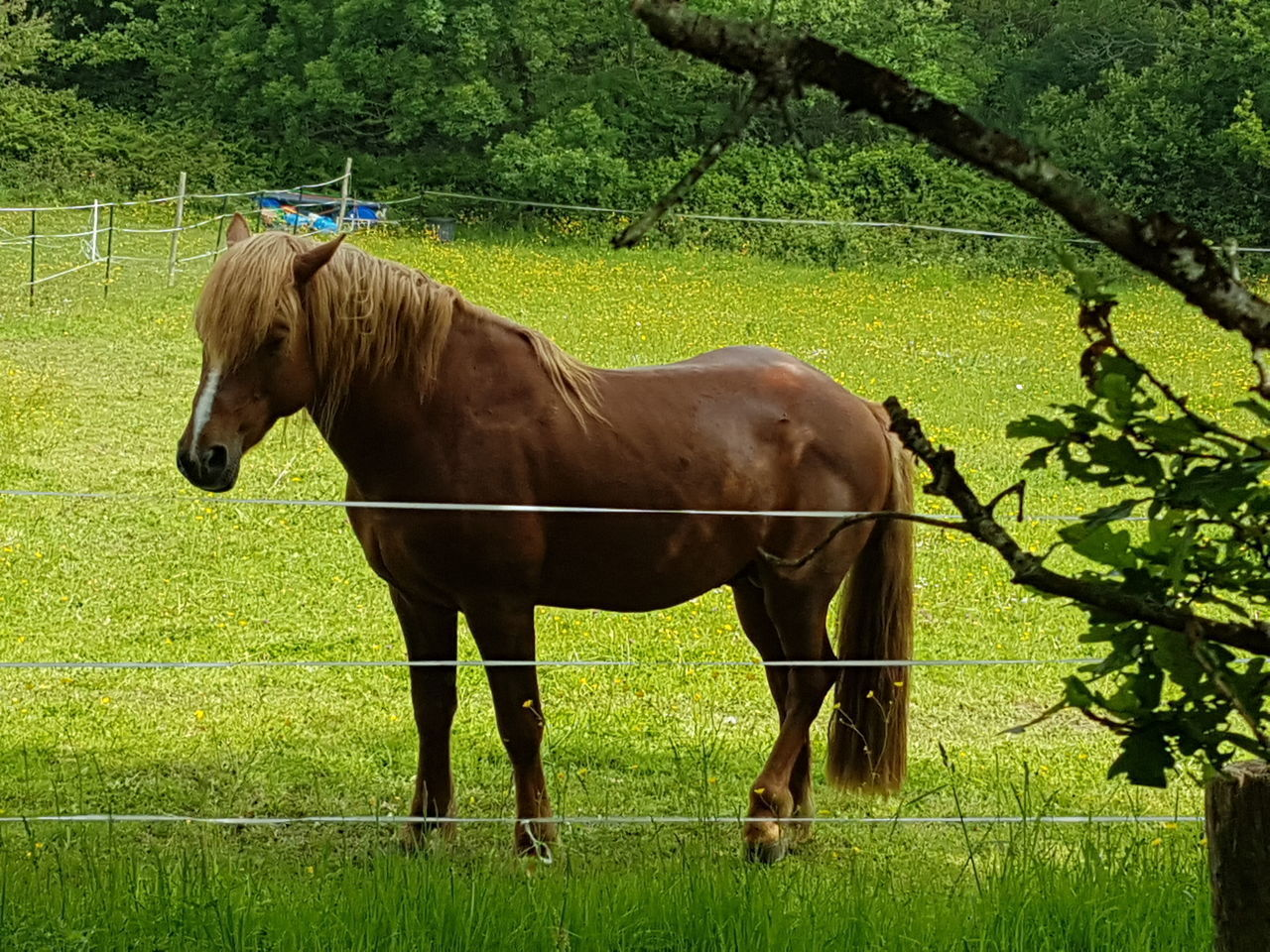 livestock, plant, domestic, mammal, horse, domestic animals, animal themes, pets, field, animal, land, grass, vertebrate, green color, tree, animal wildlife, nature, standing, one animal, day, herbivorous, no people, outdoors