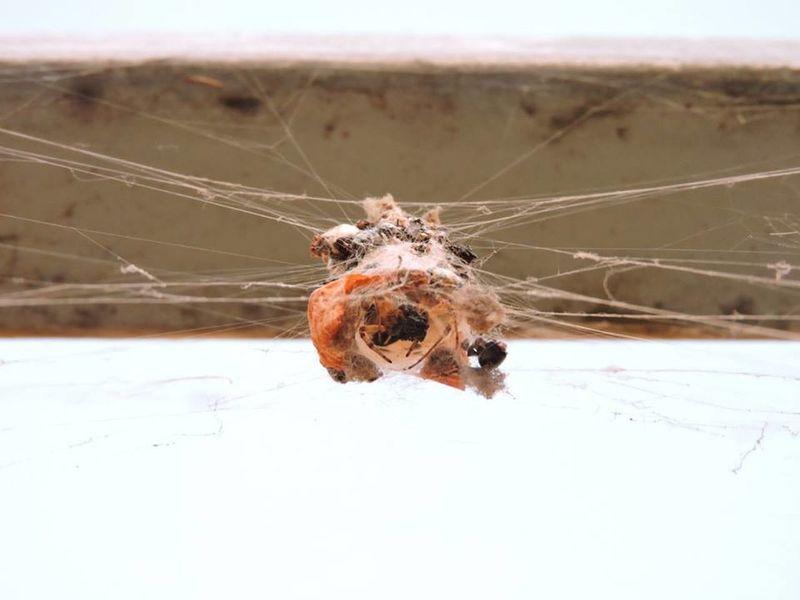 Araña Campo Capullo Insect Lago Ranco Naturaleza Nature One Animal Spider Tela De Araña