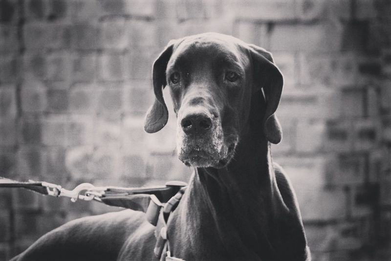 Portrait Close-up Looking At Camera Headshot Spotted One Animal One Person Young Adult Outdoors Day Only Men Adult One Man Only Greatdane Likeforfollow Follow4follow Like4likes Followback Like4like Followforfollow Likers Likesforlikes Followshoutoutlikecomment People